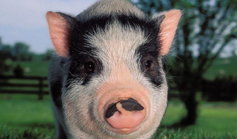 Danish Protest Pig